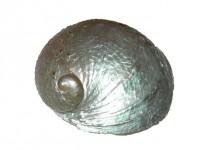 Perle - Perlmutt